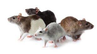 El problema de las ratas en Pozuelo