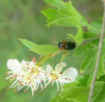 La Comunidad de Madrid confirma la presencia inédita en la región del insecto Chilotomina oberthuri, una especie endémica de la Península Ibérica