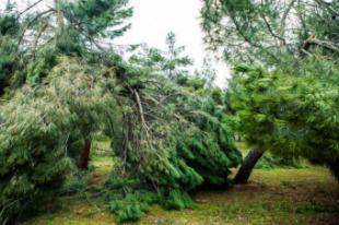 El Ayuntamiento de Pozuelo pone en marcha un estudio técnico del arbolado municipal afectado por el temporal