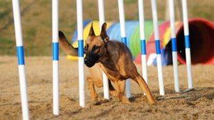 Deporte canino en las Fiestas de Pozuelo