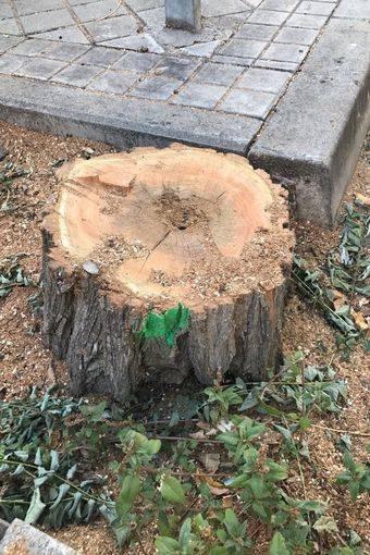 Detenida momentáneamente la tala de árboles en la Colonia de los Ángeles de Pozuelo de Alarcón
