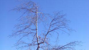 El Ayuntamiento de Pozuelo tala el 'árbol de la Gürtel'