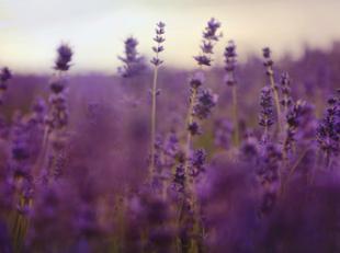 Es tiempo de lavanda: Tres razones para dejarse envolver por el poder calmante de esta planta milenaria