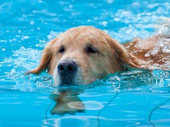 La RSCE avisa de que la mayoría de las piscinas son peligrosas para los perros