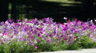 Más de 27.500 flores adornarán diferentes calles y espacios de Pozuelo de Alarcón en primavera y verano