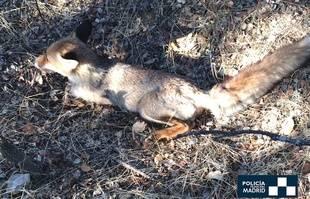 La Policía Municipal rescata a un zorro herido en el Monte del Pardo