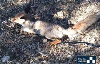Pequeño zorro herido rescatado en el Monte del Pardo